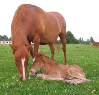 estonian native horse foal