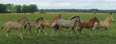 estonian native horses for sale
